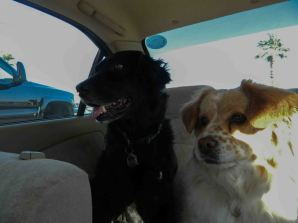 Two dogs in the back seat of the car.
