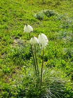 Bear grass in bloom at Mount Rainier.