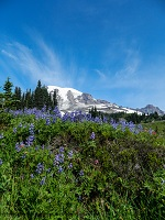 Paradise meadow with lupines and Mount Rainier in the background.