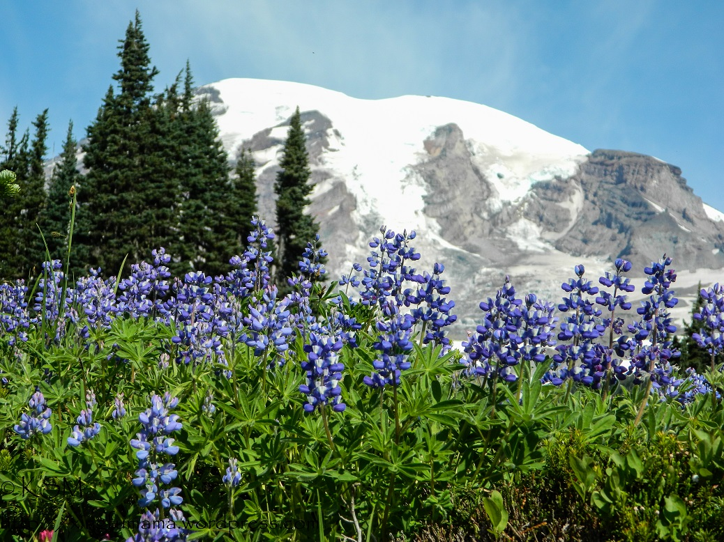 Lupines with Mount Rainier in the background.