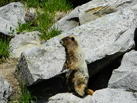 Wooly Marmot, or Whistle Pig, standing on rocks at Mount Rainier.