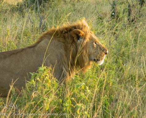 A profile of a lion in grassland facing the sun.