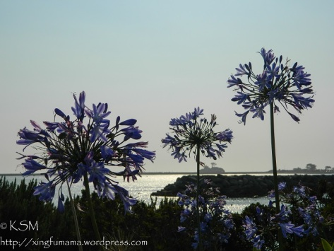 Agapanthus Flowers with a backdrop of the  harbor of Crescent City on the California coast.