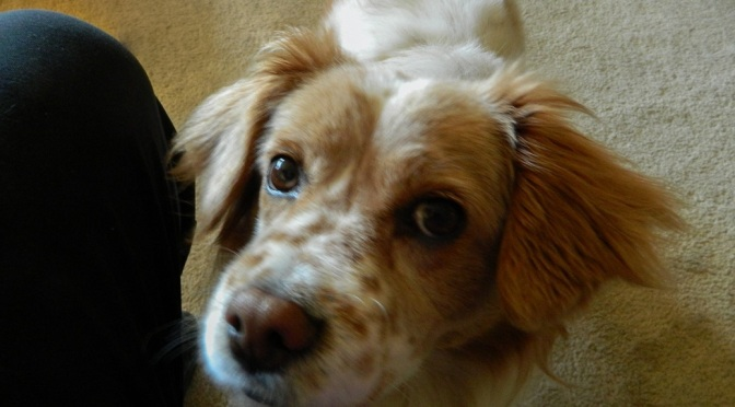 Cute spaniel mix dog with ginger colored freckles.