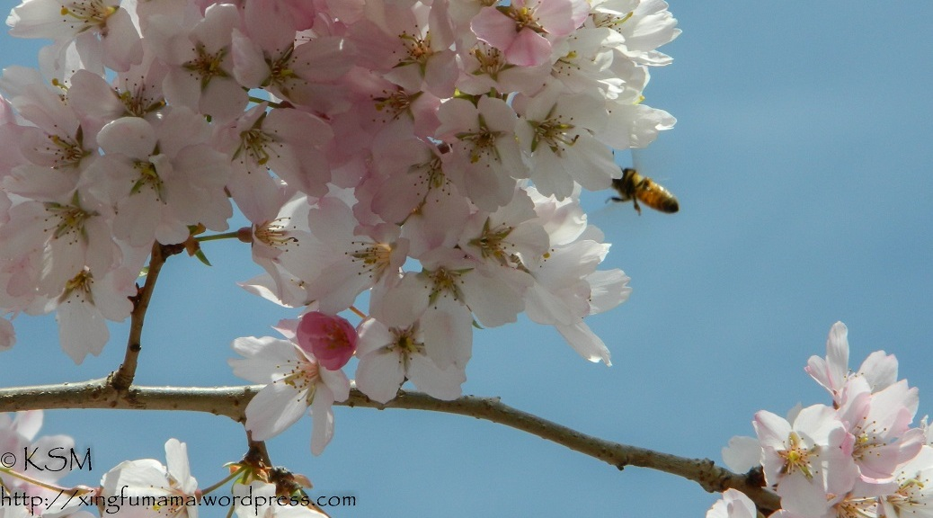 Honey bee approaching a cherry blossom.