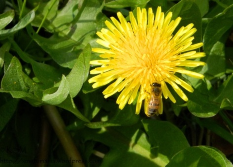 Dandelion and honey bee.