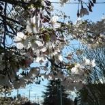 Back lit cherry blossoms.