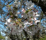 Front lit cherry blossoms.