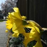 Back lit daffodils.