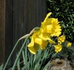 Front lit daffodils.
