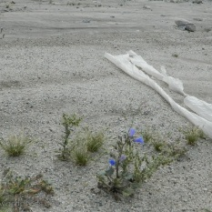 Blue bell shaped flowers and trash on the desert floor.