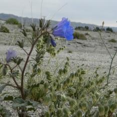 Blue, bell shaped wildflower.