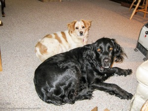 Two spaniel mix dogs: one corgi-lier(King Charles Cavlier) and one sprig-ador.