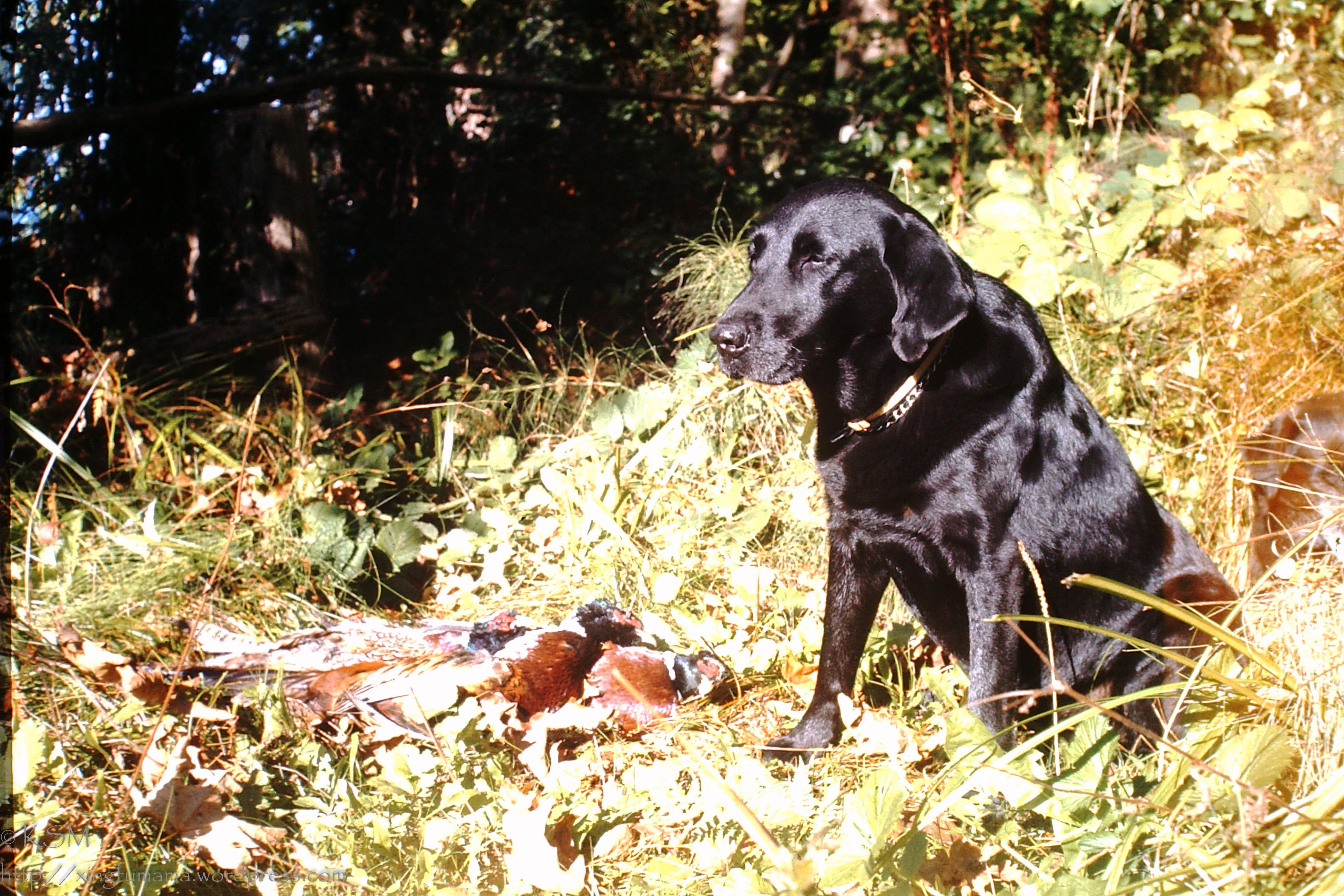 Black Labrador retriever with pheasant.