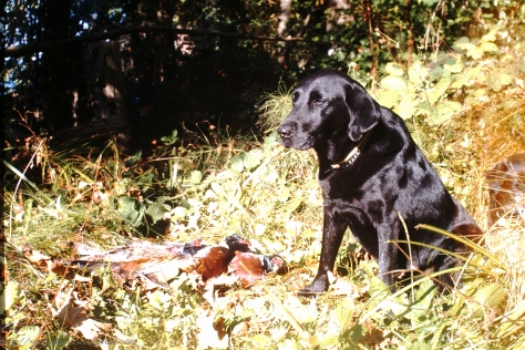 Black Labrador retriever with pheasant.