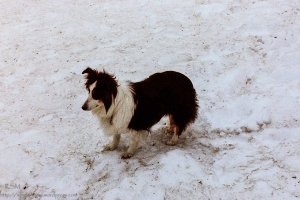 Black and white sheltie.