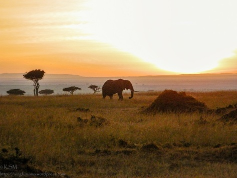 Elephant at Sunrise, Masai mara