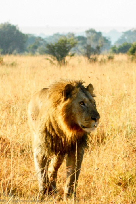 Lion taking an early morning stroll.