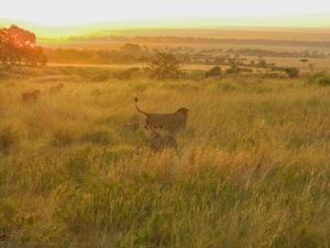 Lions at sunrise.