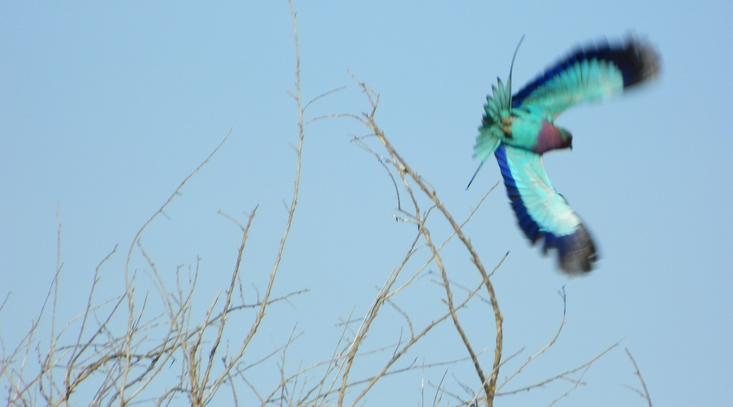 Lilac breasted roller taking flight.