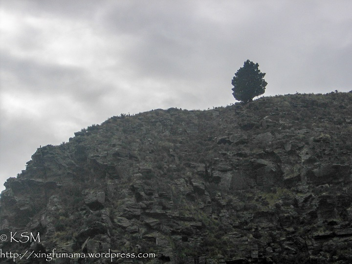 Lone pine tree on a rocky hillside. Dunedin New Zealand.