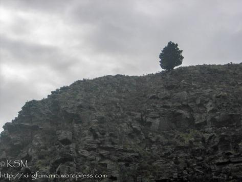 Lone pine tree on a rocky hillside. Dunedin New Zealand.