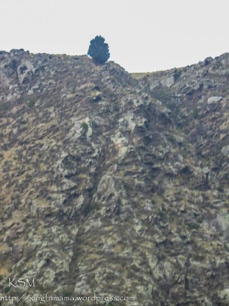 Lone Pine on fault line. Dunedin, New Zealand