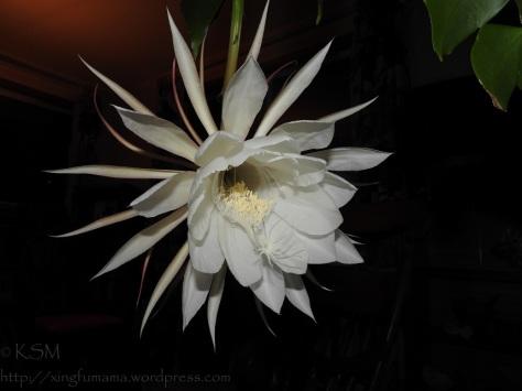 Night blooming cereus flower.