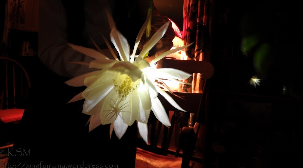 Night blooming cereus flower lit from behind.