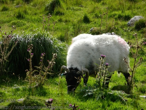 Gleaming sheep wool, somewhere in western Ireland.