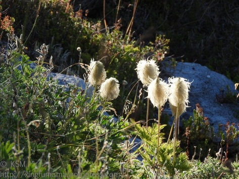 Pasqueflower seedheads.