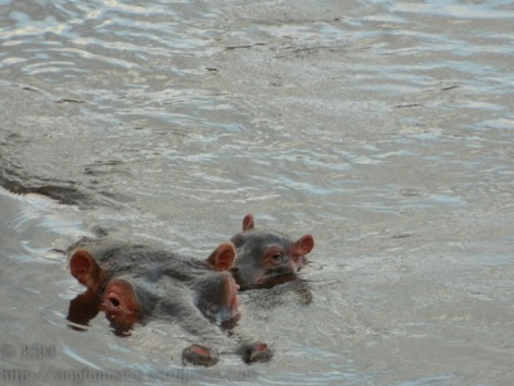 Mother and baby hippo in the Mara River.