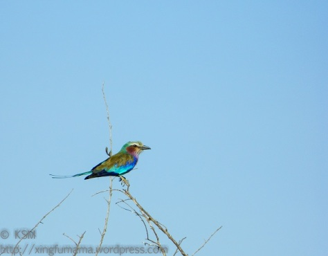 Lilac breasted roller perched on a branch.