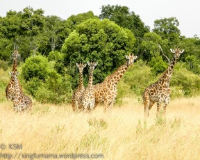 Giraffes are the Masai Mara Neighborhood Watch