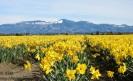 Daffodil field near Mount Vernon, Skagit Valley, Washington State
