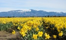 Daffodil field near Mount Vernon, Skagit Valley, Washington State