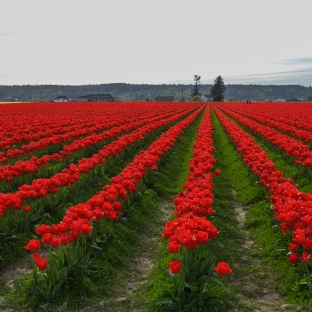 KSM-20160408-Tulip_Day-17