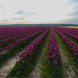 KSM-20160408-Tulip_Day-19