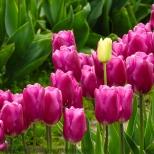 KSM-20160408-Tulip_Day-20