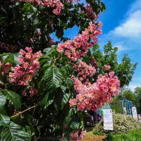 KSM-20160505-Chestnut_Blossoms-02
