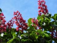 KSM-20160505-Chestnut_Blossoms-04