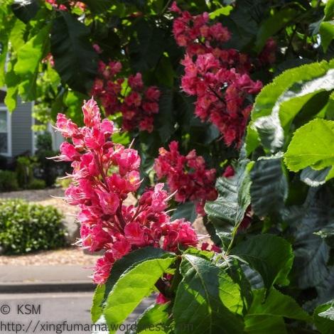 KSM-20160505-Chestnut_Blossoms-05
