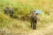 Warthog rebels.
