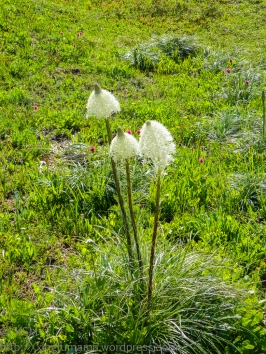ksm-20140821-bear_grass-02
