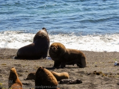 ksm-20170110-sea_lions-02