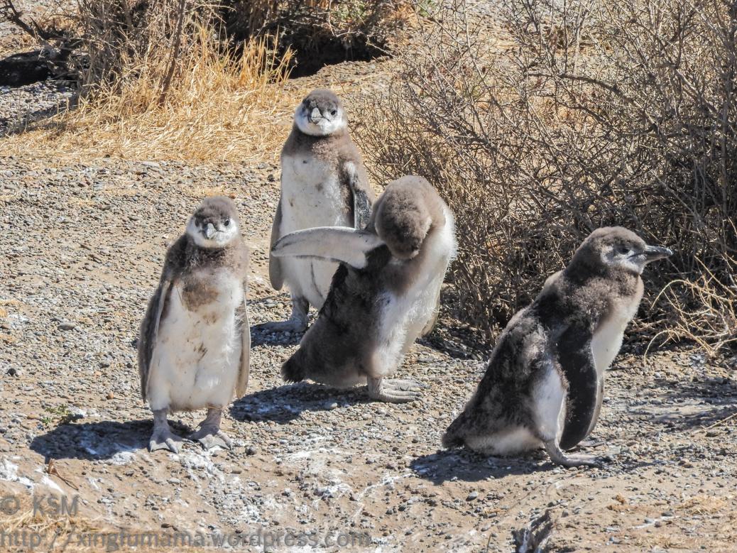 ksm-20170110-penguins-05