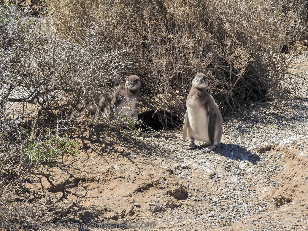 ksm-20170110-penguins-07