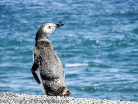 ksm-20170110-penguins-09