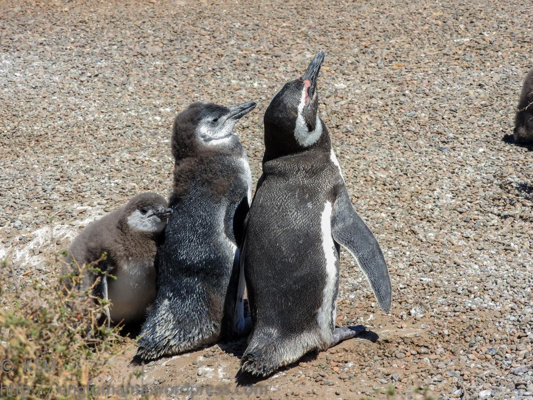 ksm-20170110-penguins-11