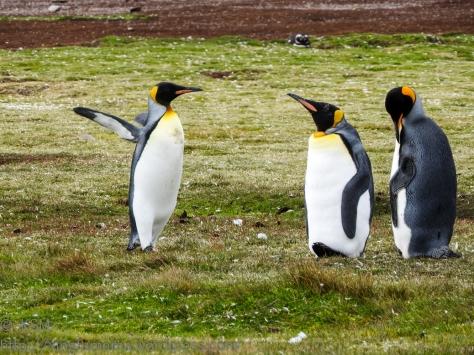 ksm-20170112-penguins-16
